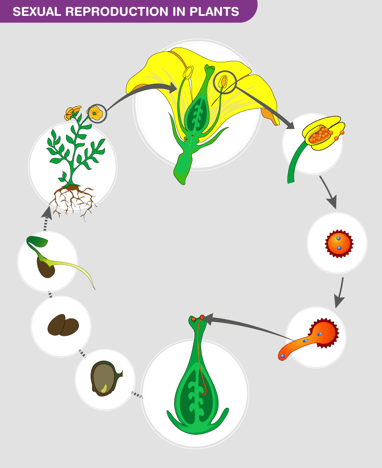 Sexual Reproduction in Plants Lecture - 2
